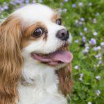 キャバリア・キング・チャールズ・スパニエルの子犬を飼いたい!特徴や性格、飼い方を教えて