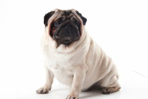 パグの子犬を飼いたい!特徴や性格、飼い方を教えて