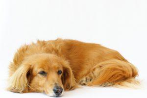 ミニチュアダックスフンドの子犬を飼いたい!特徴や性格、飼い方を教えて