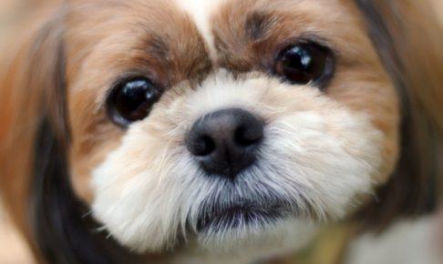 シーズーの子犬を飼いたい!特徴や性格、飼い方を教えて