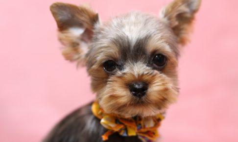 ヨークシャーテリアの子犬を飼いたい!特徴や性格、飼い方を教えて