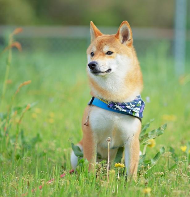 柴犬の特徴と性格は?飼い方のコツを教えて!