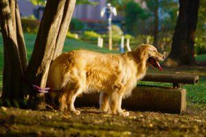 ゴールデンレトリーバーの子犬を飼いたい!特徴や性格、飼い方を教えて