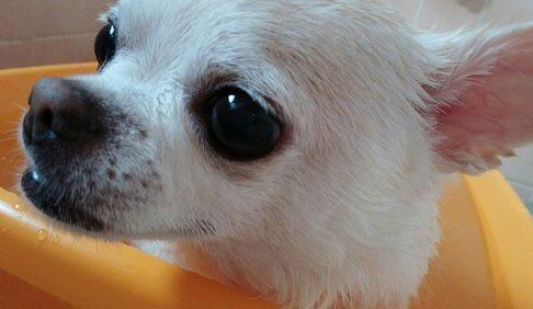 犬を飼うことが決まり、ブリーダーやペットショップで選ぶことになったら、事前にチェックするポイントを知っておかなければいけません。 病気で身体に異常がある犬ですと、一生病院に通わなければいけなくなることもあります。 こちらでは、健康な犬を選ぶポイントを紹介します。