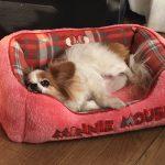 ペットの手術は術後をどう過ごすか。我が家の犬手術体験記