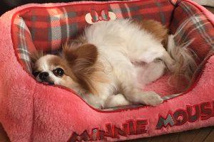 【ショック、、】犬に布団におしっこをされた、、もうされたくない
