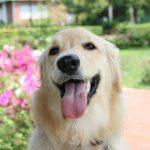 大型犬の犬に、かかりやすい病気があるって知ってた?