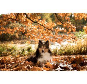 シェットランド・シープドッグの子犬を飼いたい!特徴や性格、飼い方を教えて