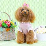 トイプードルの子犬を飼いたい!特徴や性格、飼い方を教えて