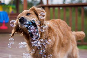 おうちでもやってみたい!今日は、犬のシャンプーをしても大丈夫?