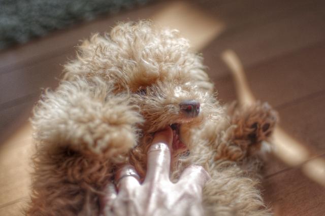 愛犬の歯磨きがちゃんと出来てますか?