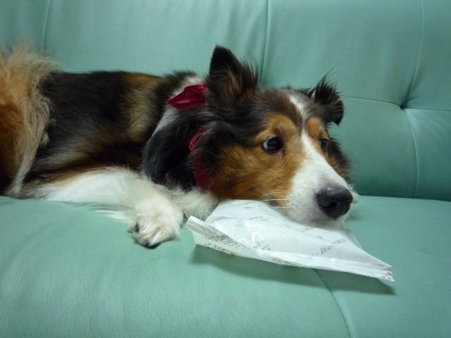 暑さ対策用に犬のクールグッズは如何でしょうか?