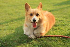 ウェルシュコーギー・ペンブロークの子犬を飼いたい!特徴や性格、飼い方を教えて