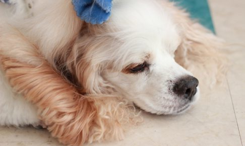 アメリカン・コッカー・スパニエルの子犬を飼いたい!特徴や飼い方を教えて!