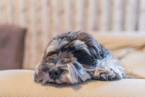 ミニチュア・シュナウザー子犬を飼いたい!特徴や性格、飼い方を教えて