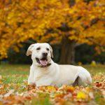 ラブラドールレトリーバーの子犬を飼いたい!特徴や性格を知りたい!