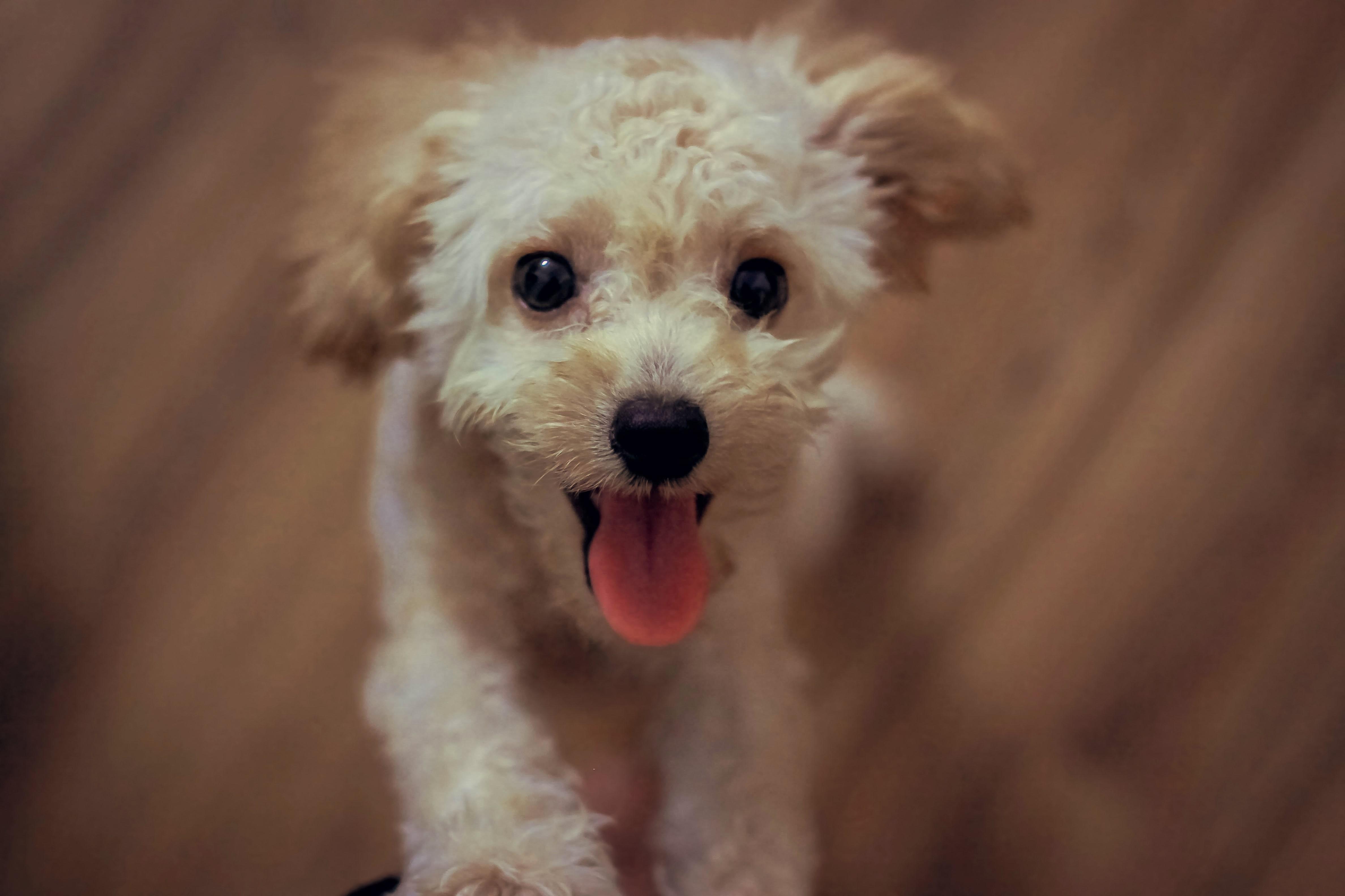~トイプードルの飼い主さん向け~膝蓋骨脱臼の原因や症状・予防まとめ