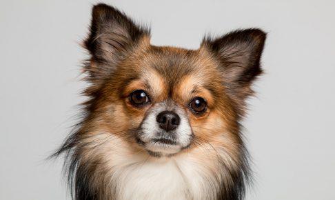 チワワ\u0026コーギーのミックス犬、大きさや性格は?
