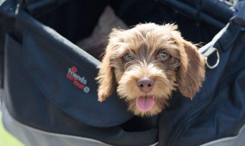 トイプードルとダックスフントの特徴、ミックス犬ダップーとは?