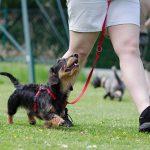 ダックスフントの珍しいミックス犬とは?失敗することもあるの?