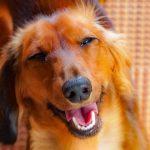ダックスフントのかわいい画像や動画をご紹介!可愛い子犬を飼うには?